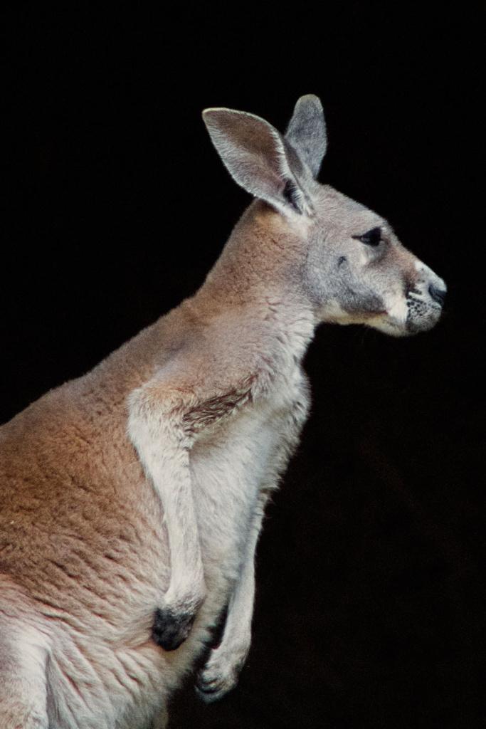 Kangur rudy - niezwykły portret zwierząt ZOO. Magda Głogowska Portrecistka Zwierząt fotograf. Projekt Bilet roczny.