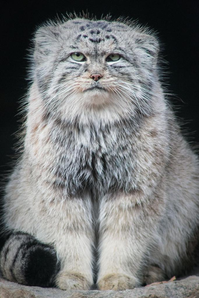 Manul stepowy - niezwykły portret zwierząt ZOO. Magda Głogowska Portrecistka Zwierząt fotograf. Projekt Bilet roczny.