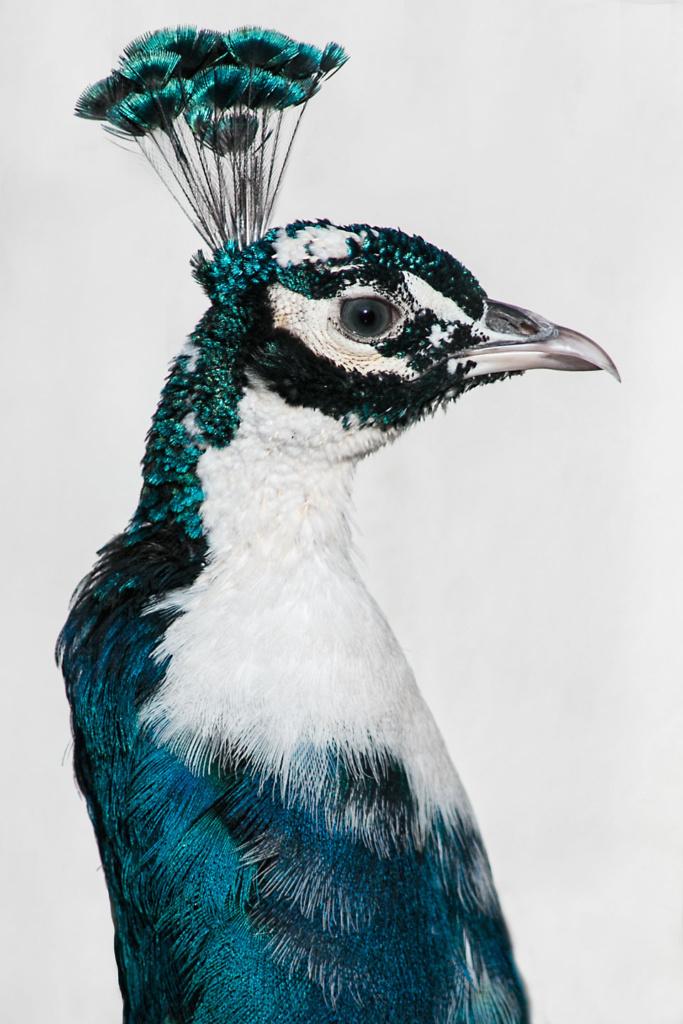 Paw indyjski - niezwykły portret zwierząt ZOO. Magda Głogowska Portrecistka Zwierząt fotograf. Projekt Bilet roczny.