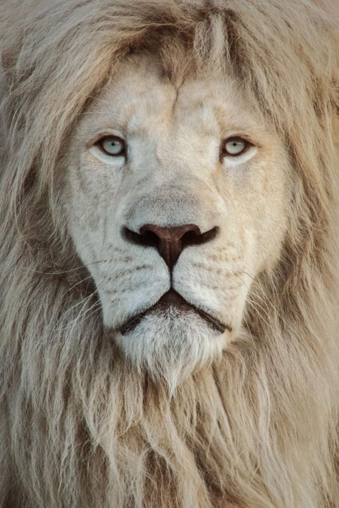Lew biały - niezwykły portret zwierząt ZOO. Magda Głogowska Portrecistka Zwierząt fotograf. Projekt Bilet roczny.
