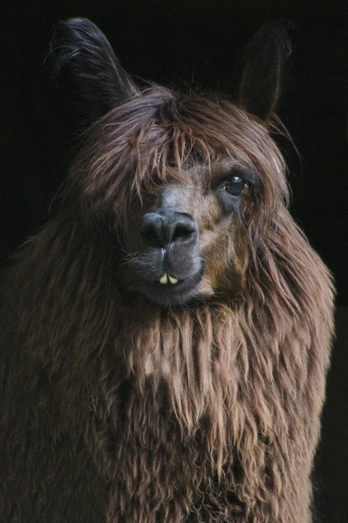 Lama - niezwykły portret zwierząt ZOO. Magda Głogowska Portrecistka Zwierząt fotograf. Projekt Bilet roczny.