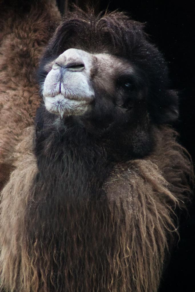 Wielbłąd dwugarbny - niezwykły portret zwierząt ZOO. Magda Głogowska Portrecistka Zwierząt fotograf. Projekt Bilet roczny-2