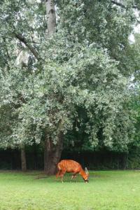 Bongo leśne - zwierzę bliskie zagrożone wyginięciem.